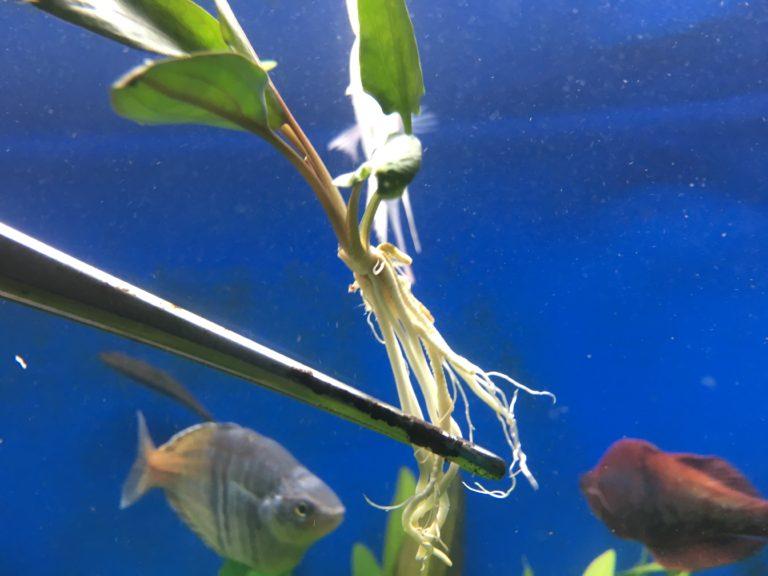 【写真でわかる】上手な水草の植え方!初心者からできる基本ポイントを解説 水槽画像