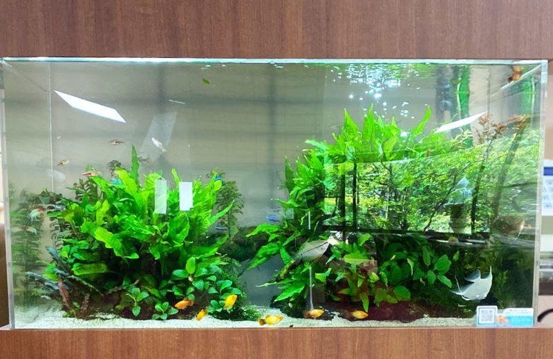 愛知県瀬戸市 老人ホーム様 90cm淡水魚水槽 水槽レンタル事例 現在の様子 水槽画像4