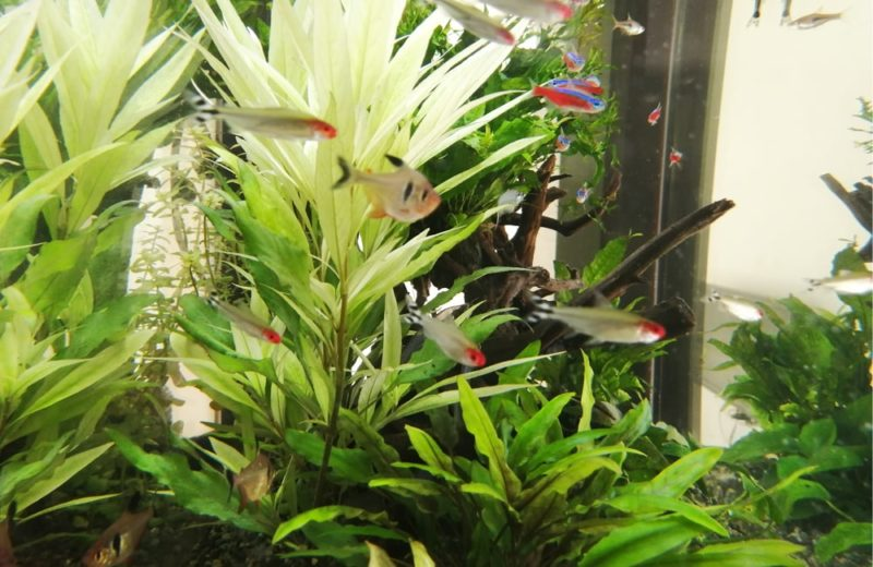 神奈川県横浜市 歯科医院 77cm淡水魚水槽 水槽メンテナンス事例 水槽画像3
