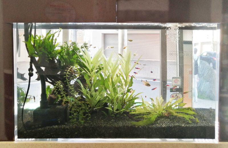 神奈川県横浜市 歯科医院 77cm淡水魚水槽 水槽メンテナンス事例 水槽画像4