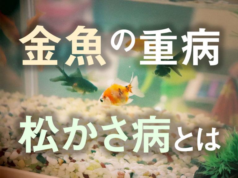 金魚の松かさ病は不治の病なのか?原因と対策・治療方法!薬餌の有効性も解説のサムネイル画像