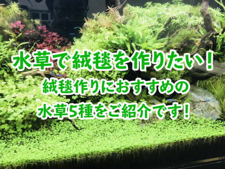 水草で緑の絨毯を作りたい!絨毯作りにおすすめの水草5種をご紹介です!のサムネイル画像