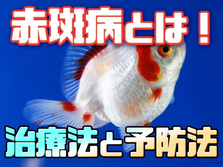 魚が充血する?!赤斑病とは!治療法と体色別の見きわめ方!予防法も!のサムネイル画像