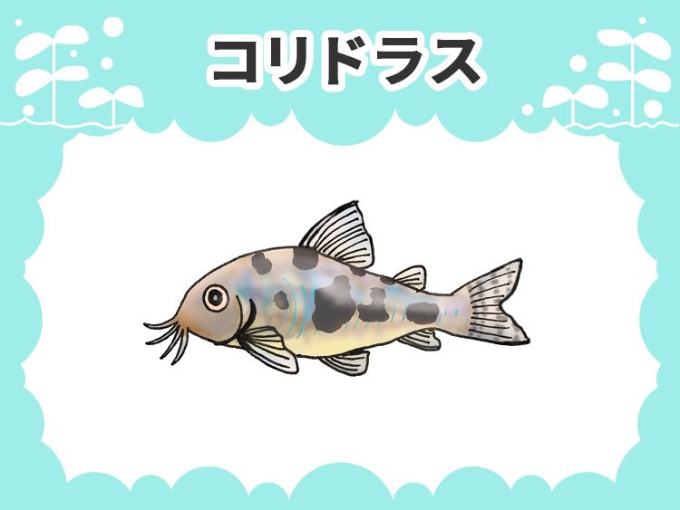 コリドラスのお魚図鑑