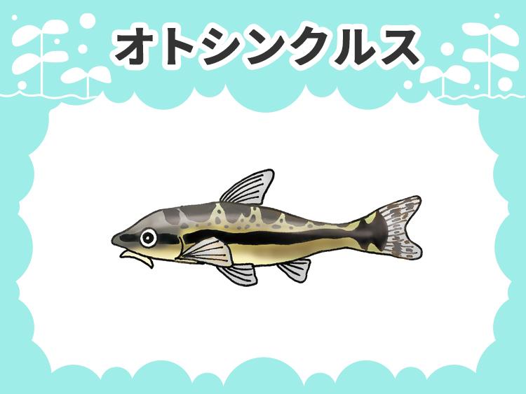 オトシンクルスのお魚図鑑