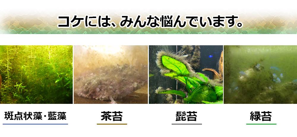 水槽のコケに多くの人が悩んでいます。斑点状藻、茶ゴケ、髭ゴケ、緑ゴケの対処法とは!?