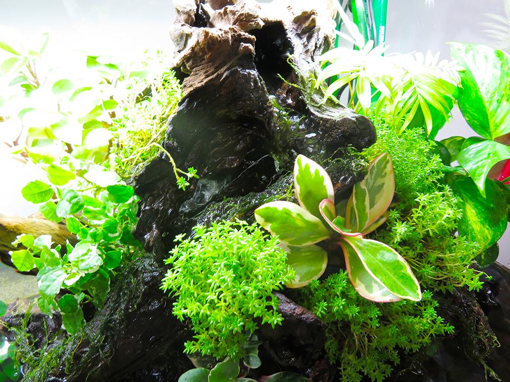 アクアテラリウム水槽の植物