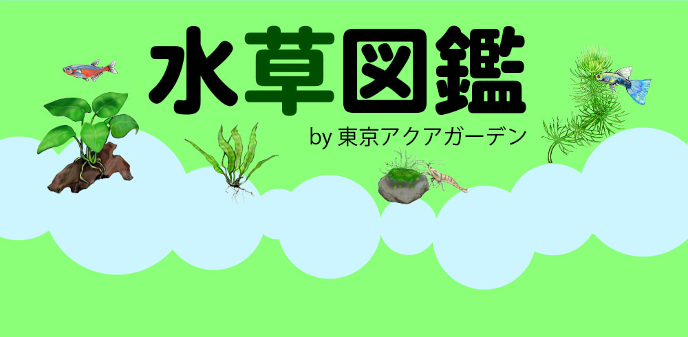 水草図鑑 マツモ